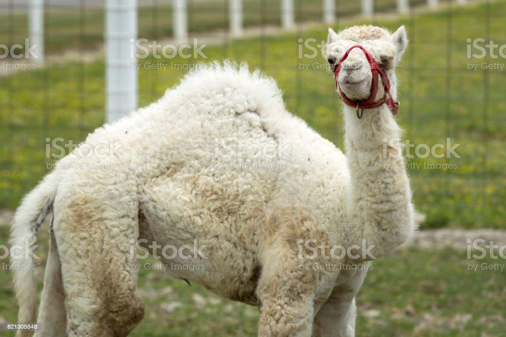 Cute albino camel. – zdjęcie
