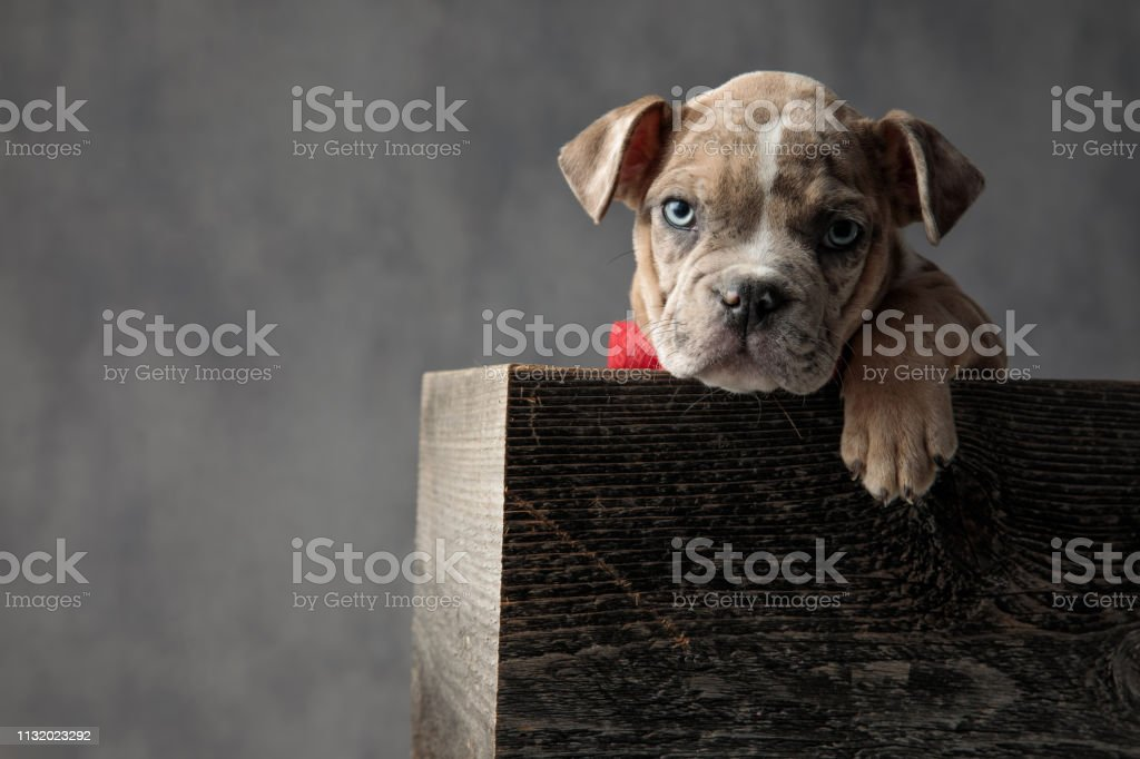 cute american bully puppy dog with a paw hanging is sitting in a...