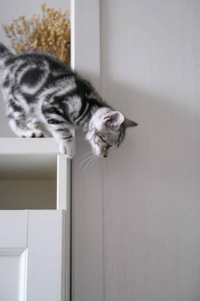 süße american katze kätzchen - katzenschrank stock-fotos und bilder