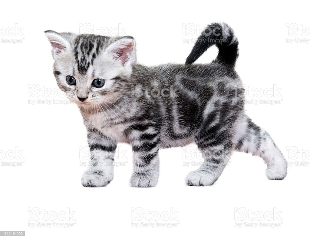 Cute American shorthair cat kitten. Isolated o white background stock photo