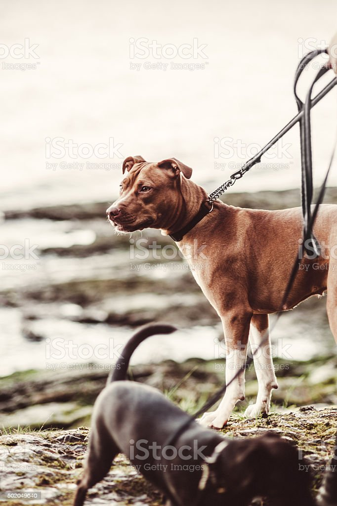 Cute Amstaff American Staffordshire Terrier stock photo
