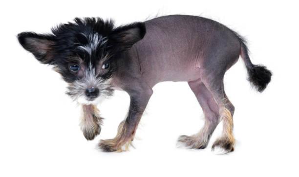süßes und etwas unklar - chinesische schopfhunde stock-fotos und bilder