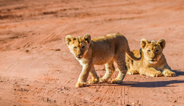Cute and adorable brown lion cubs running and playing in a game in picture id1163230591?b=1&k=6&m=1163230591&s=612x612&w=0&h=1h9lgorgo0rhgpoudyeh5hav6tjpzeel8psa7tlx58s=