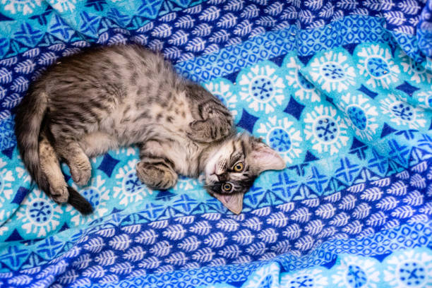 cute and adorable kitten and cat portrait with behavior and pers - ocicat foto e immagini stock