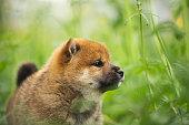 夏の緑の草の中に立つかわいいと美しい赤い芝犬子犬