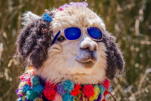 Cute and chic alpaca close up portrait - Ancash peruvian Andes, Peru