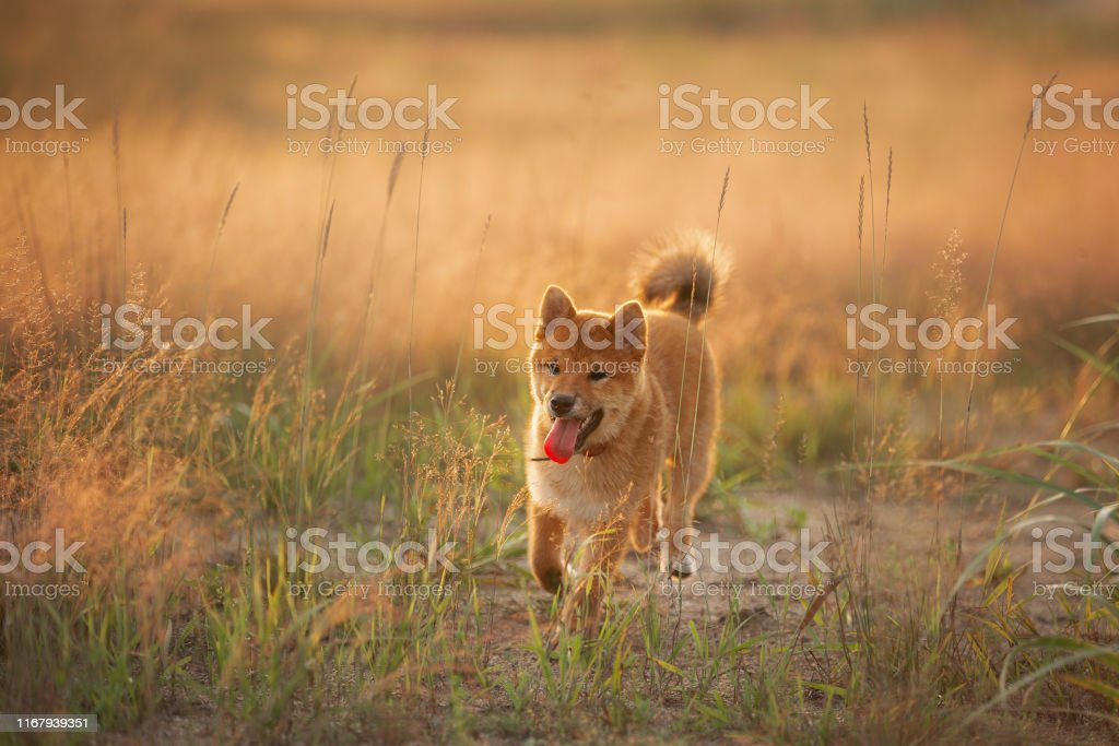 Cute, happy and crazyYoung Red Shiba Inu Puppy Dog running fast In...
