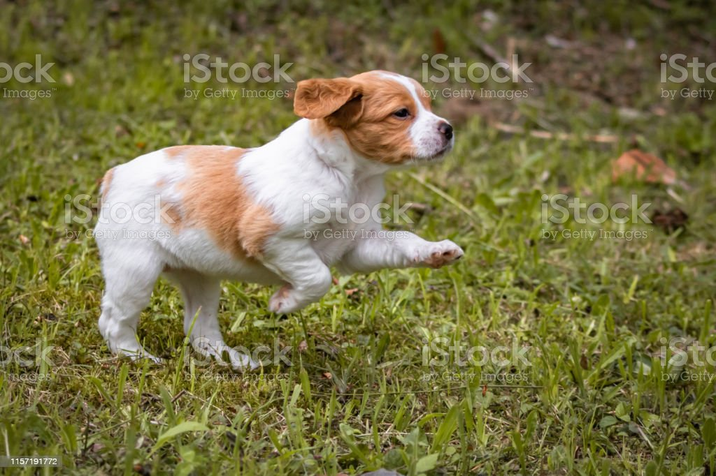Cute And Curious Brown And White Brittany Spaniel Baby Dog Puppy Running Stock Photo Download Image Now Istock