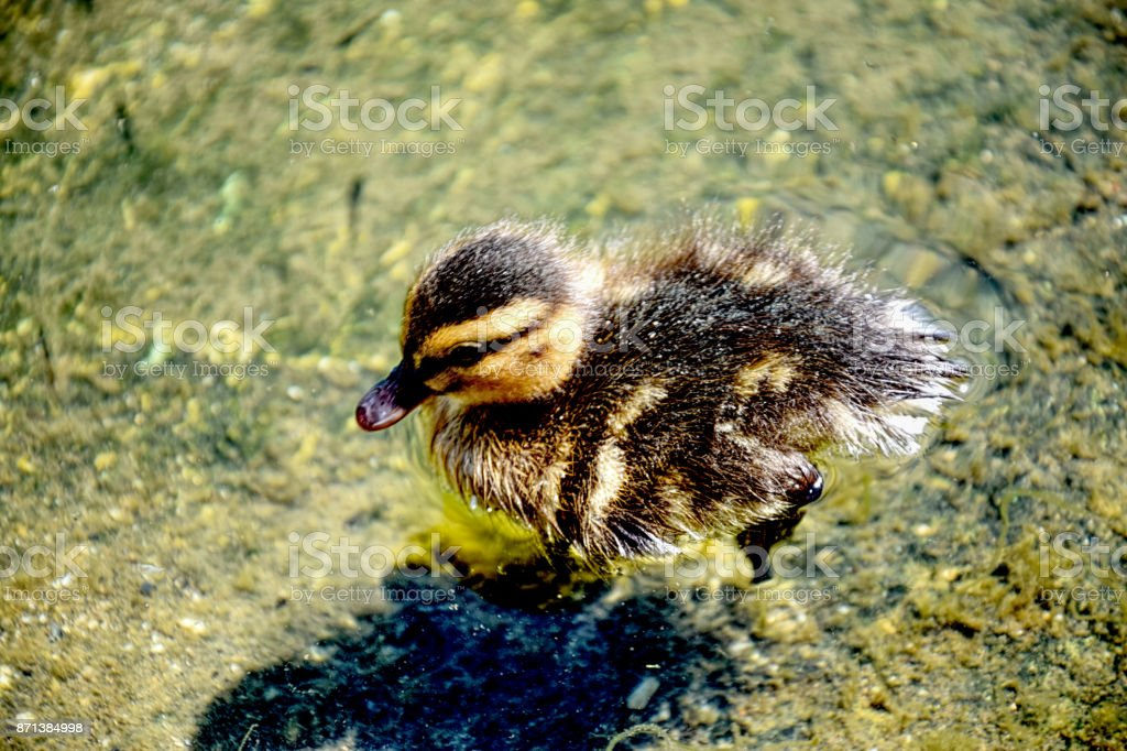 cute and fluffy duckling stock photo more pictures of 2017 istock