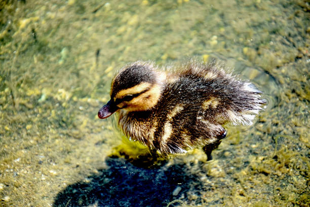 Cute and Fluffy Duckling - foto stock