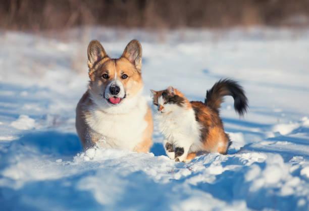 Cute and fluffy friends red cat and dog corgi sit next to each other picture id1295500661?b=1&k=6&m=1295500661&s=612x612&w=0&h=ds9pnhw0eeolwun3l8sz6muqjyzfqnll9ouetkyptbk=