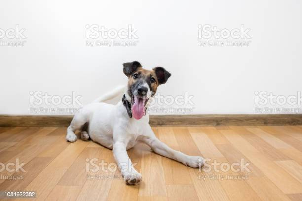Cute and funny smooth fox terrier puppy lays on the floor picture id1084622382?b=1&k=6&m=1084622382&s=612x612&h=3s tcju4cwhnhlinj5vmmyo0frxv3y2nnkxfhfo30ks=
