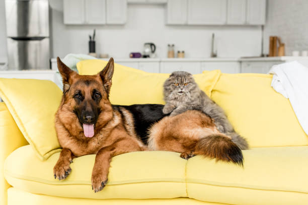 Cute and grey cat and dog lying on yellow sofa in messy apartment picture id1165336357?b=1&k=6&m=1165336357&s=612x612&w=0&h=bjlogo9djghduxiuhuygoq n0aqllbiskbbn qss3f4=