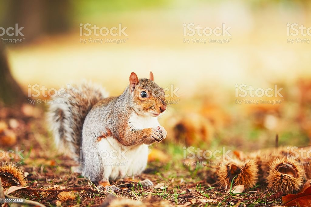 Cute and hungry squirrel stock photo