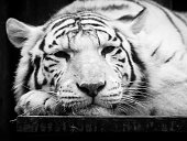 Cute and lazy white tiger lying on the desk on its paw. Wild animal portrait. Black and white image.