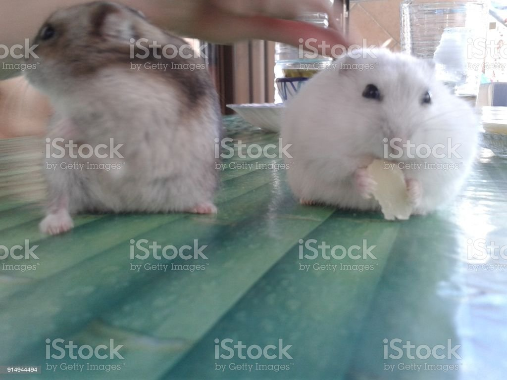 Cute and tiny Russian Dwarf Hamsters stock photo
