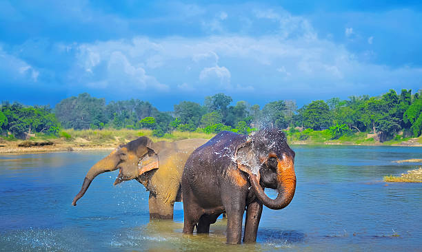 Cute Asian elephants blowing water out of his trunk stock photo
