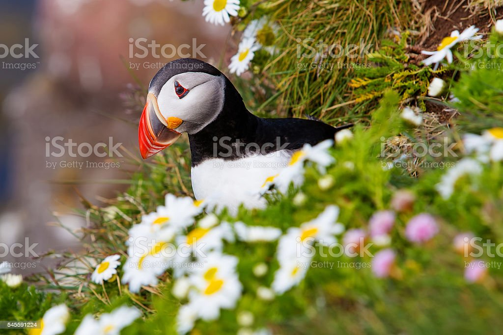 Cute Atlantic puffin in Iceland stock photo