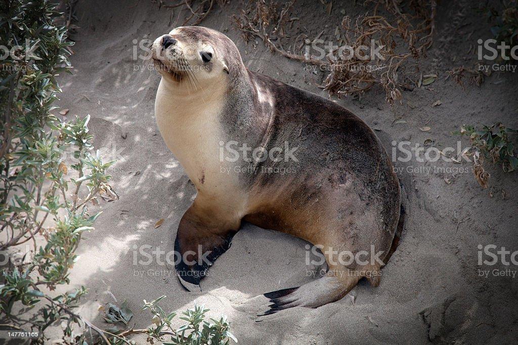 Cute australian seal stock photo