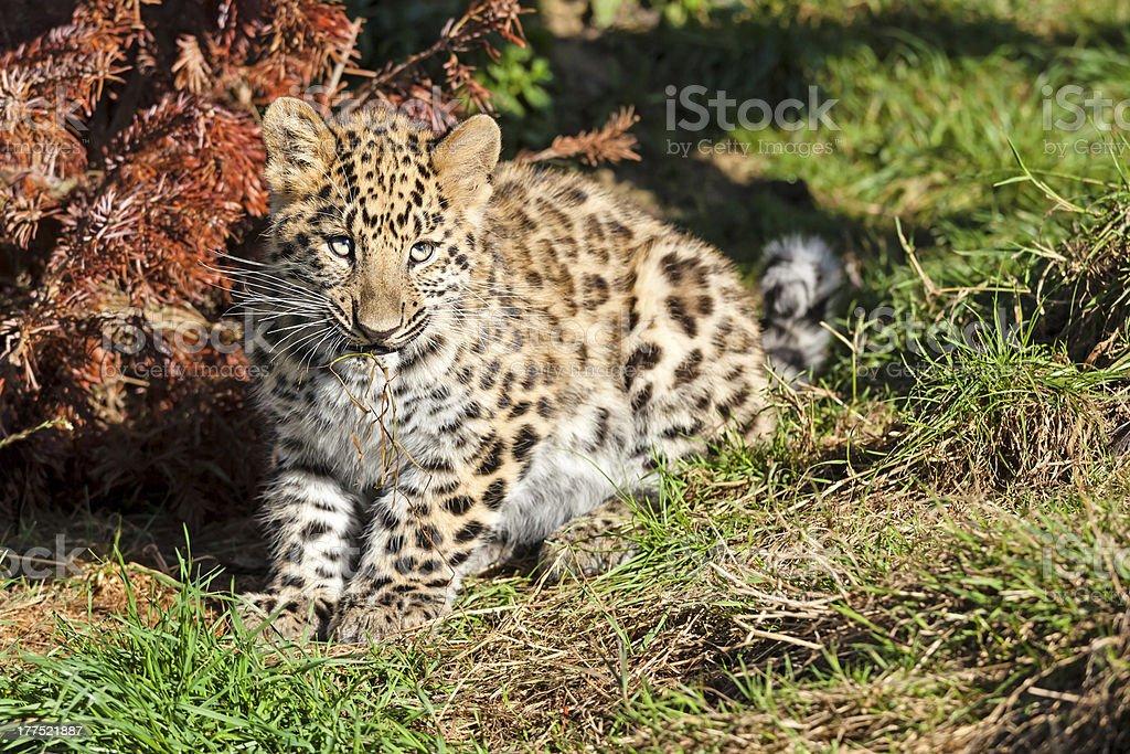 Süßes Baby Kauen Gras Amur Leopard Cub – Foto