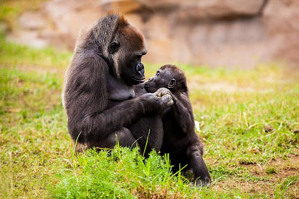 Cute baby and mother gorilla holding hands picture id159434441?b=1&k=6&m=159434441&s=612x612&w=0&h=9l2vrqrksajcofa1yaqinoxevvhsq9idqg nhrsh1dm=