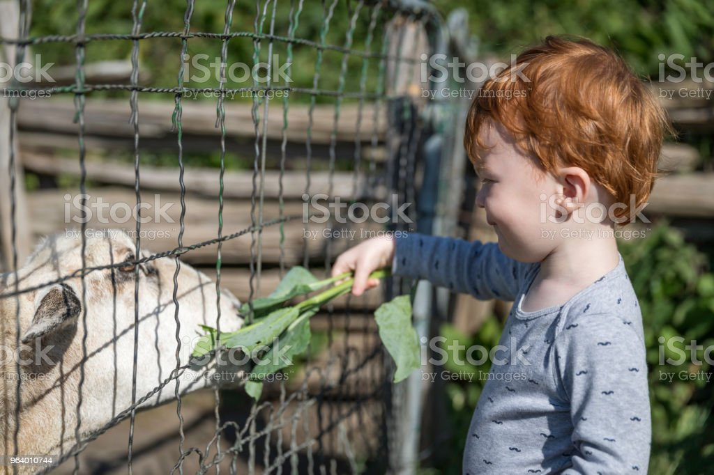 Cute baby Boy Feeding Sheep at Farm - Royalty-free 12-17 Months Stock Photo