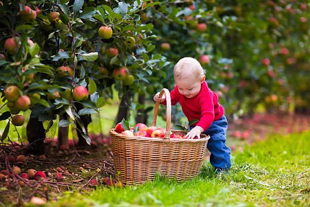 süßes baby boy frische äpfel pflücken von tree - pflücken stock-fotos und bilder
