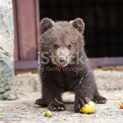 Cute baby brown bear in zoo. Bear stands and looks at the camera.