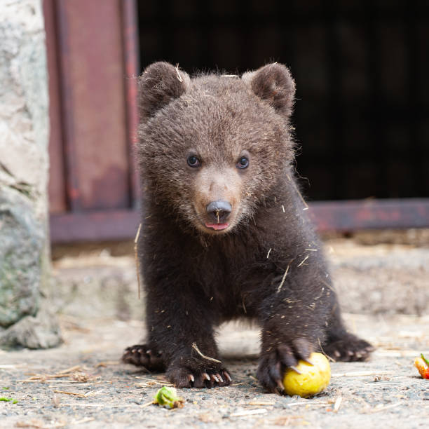 Cute baby brown bear in zoo. Bear stands and looks at the camera stock photo