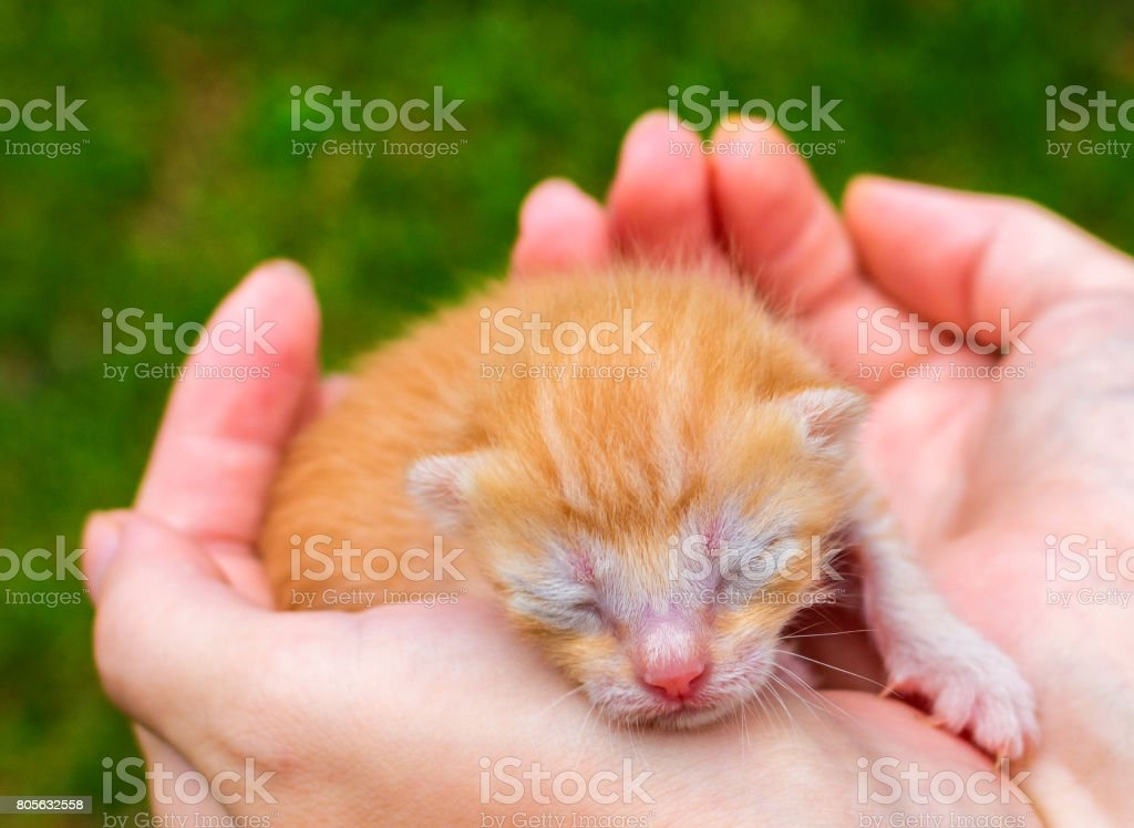Cute baby cat close photo. Lovely kitty sleeping in hands. stock photo