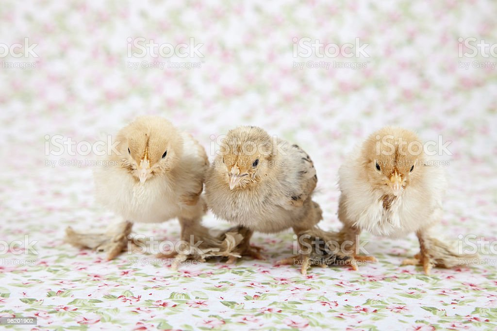 Cute baby chicks royalty-free stock photo
