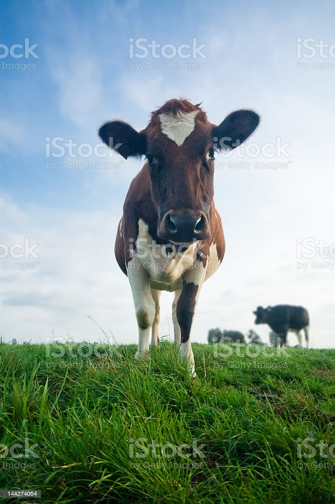 cute baby cow royalty-free stock photo