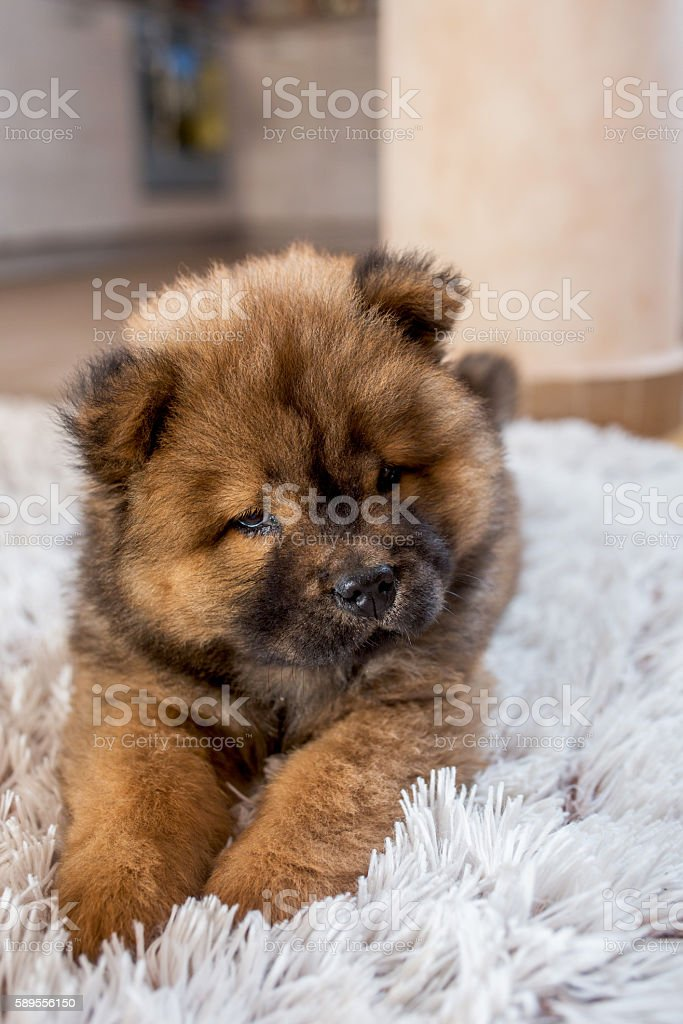 Cute Baby Dog Relaxing On The Carpet Stock Photo Download Image Now Istock