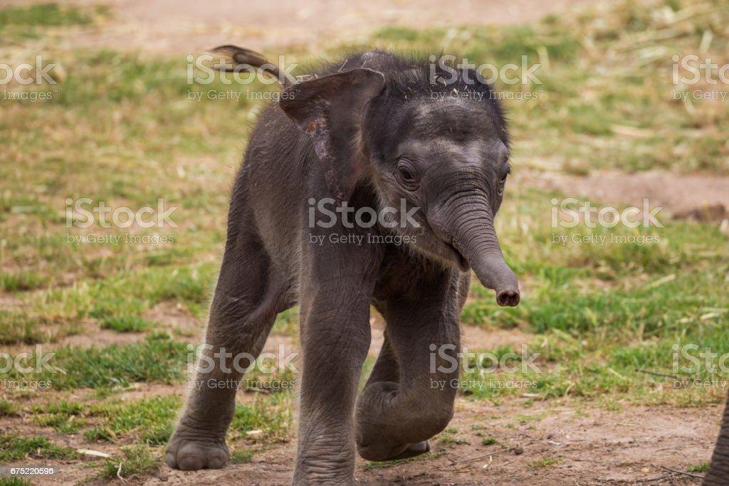 Cute Baby elephant runs stock photo