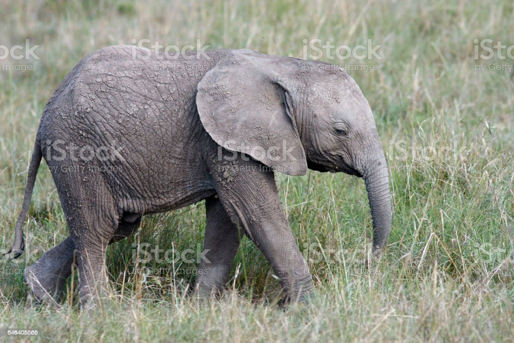 cute baby elephant walking in the grass on the african savannah