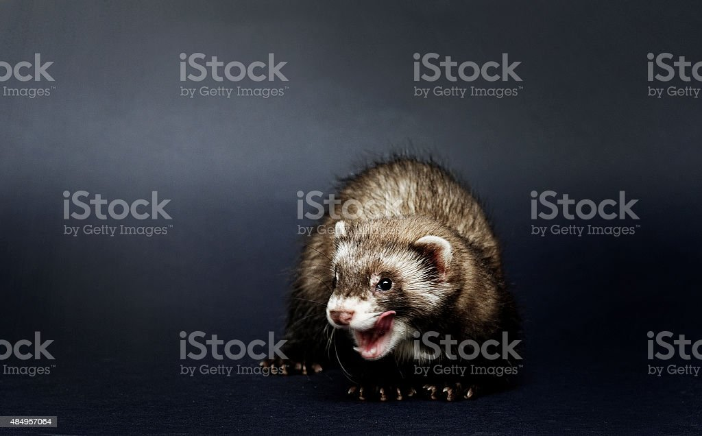 cute baby ferret lick stock photo