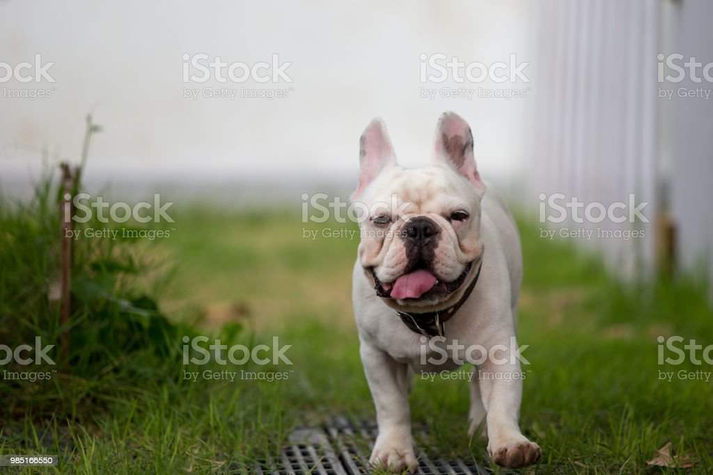 Cute Baby French Bulldog Pet Is Playing In The Field Stock Photo