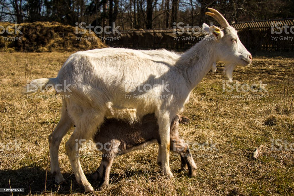 Cute baby goat cub on lawn stock photo