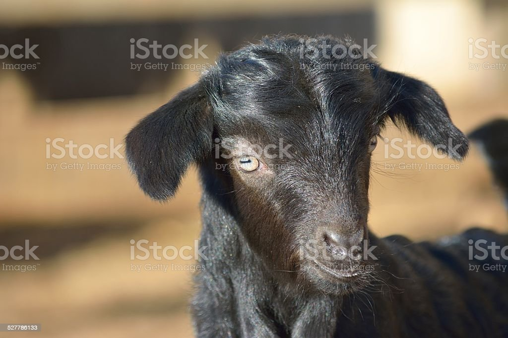 Cute baby goat cub stock photo