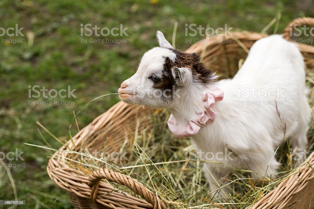 Cute baby goat in a bag stock photo