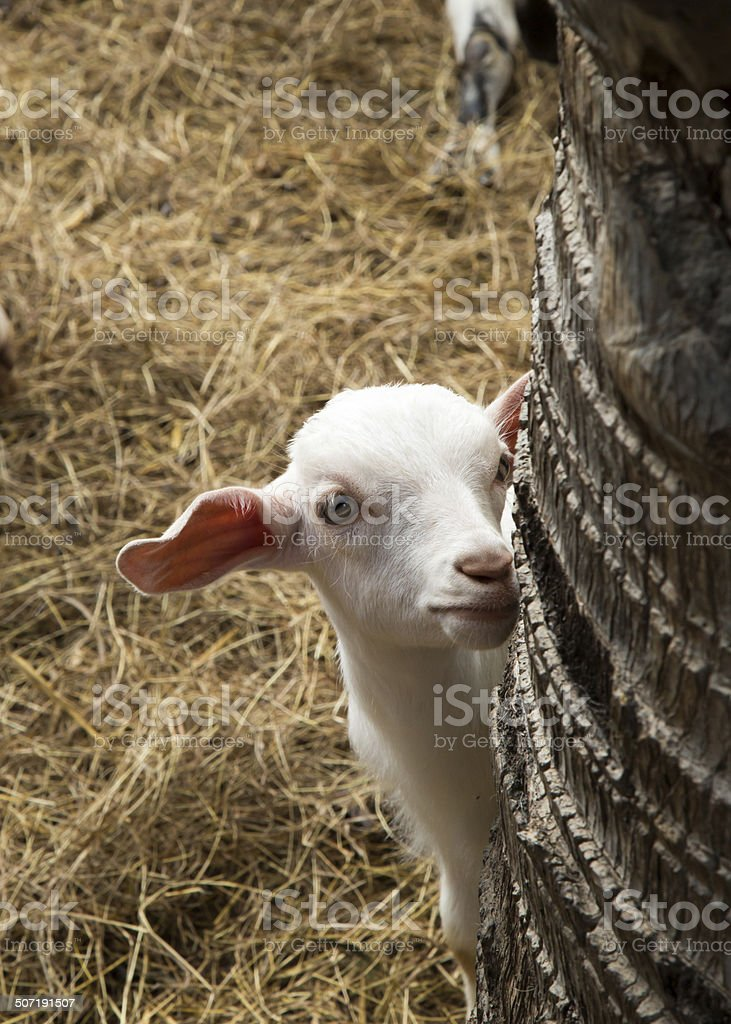 Cute baby goat. royalty-free stock photo