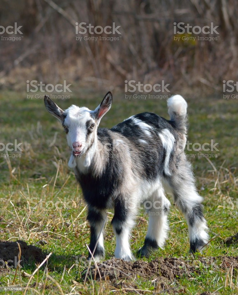 Cute baby goat stock photo