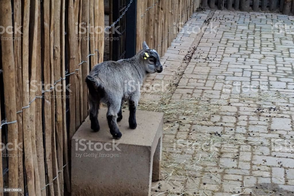 Cute baby goat standing on stone bench stock photo