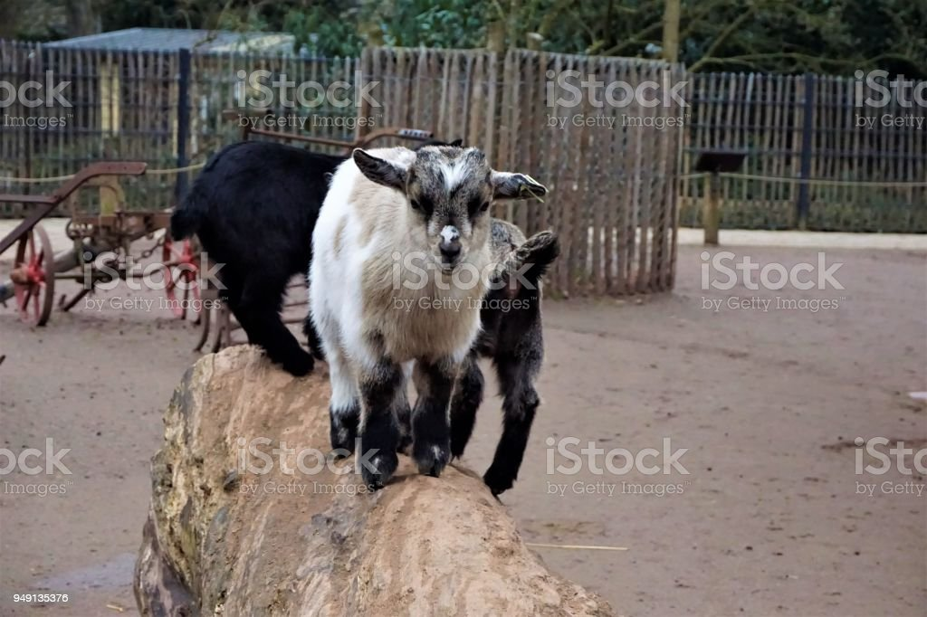 Cute baby goats standing on a trunk stock photo