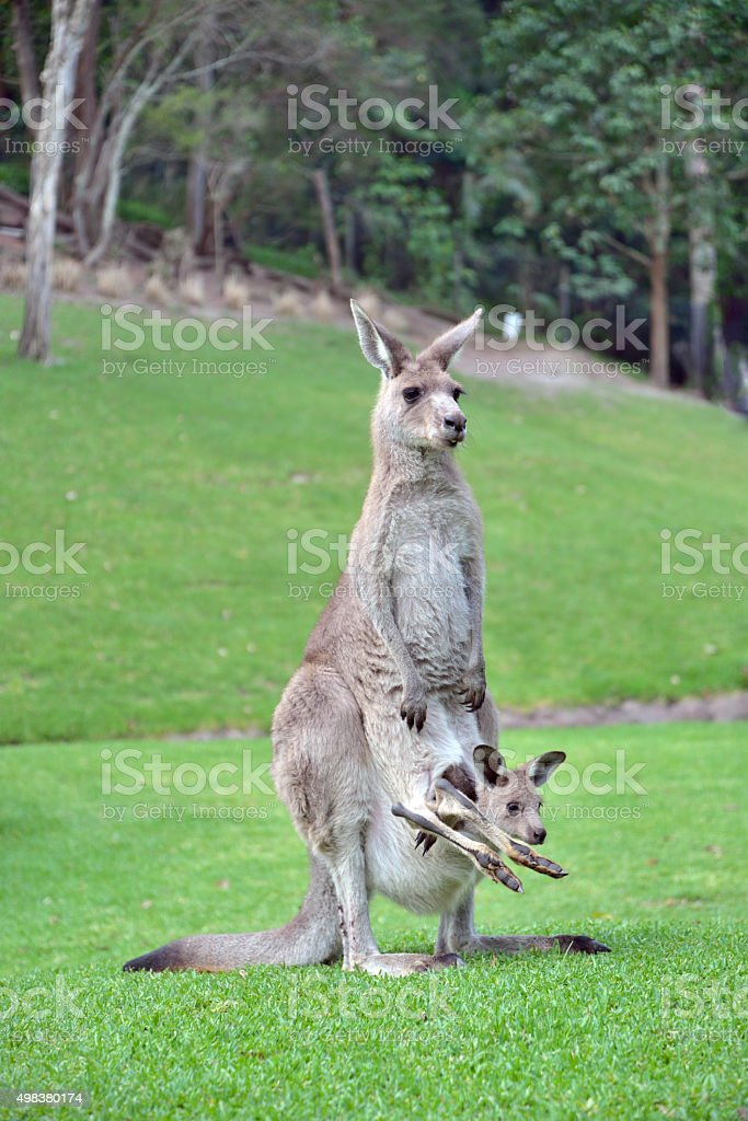 Cute Baby Kangaroo Joey In Pouch Stock Photo & More ...
