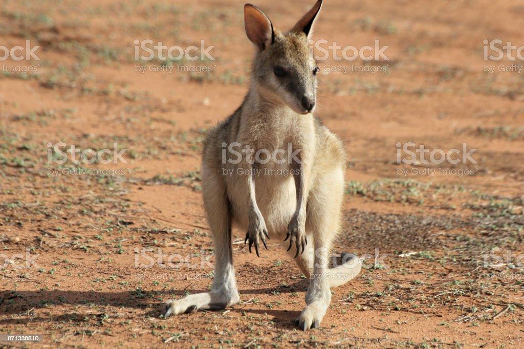 Cute baby kangaroo stock photo