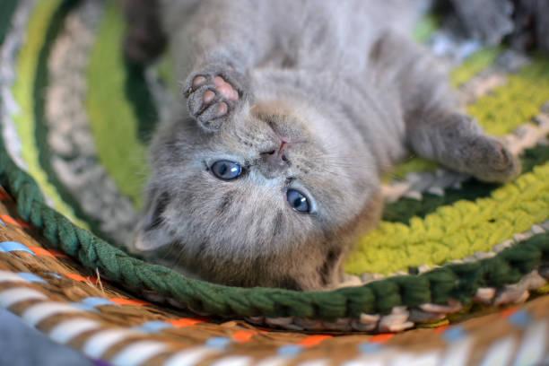 niedlichen kätzchen auf den rücken rollen und spielen auf einen weidenkorb. britische blau katze. - kurze haare flechten stock-fotos und bilder
