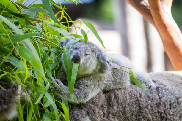 Cute Baby Koala joey rides it's mother's back eating leaves stock photo