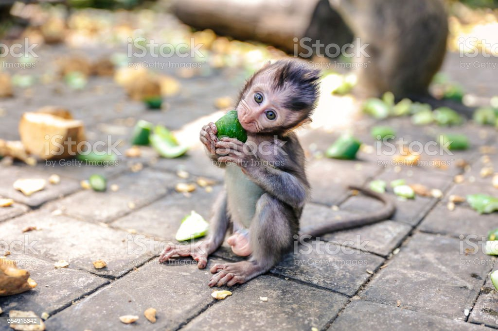 Cute baby monkey eating vegetable stock photo