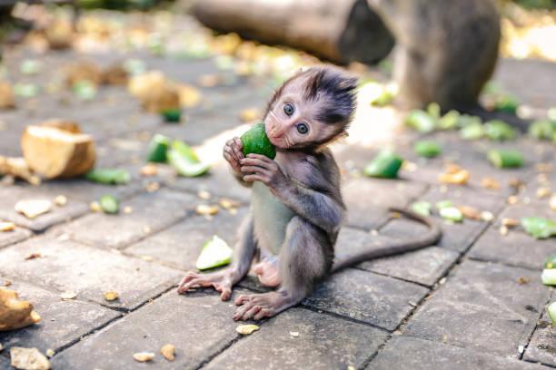 Cute baby monkey eating vegetable stock photo
